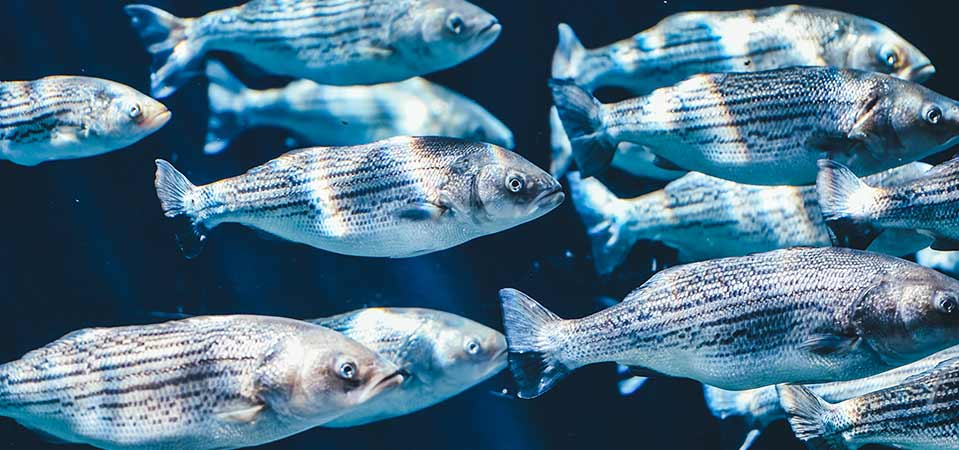 Keeping fish healthy in an aquaculture farm.